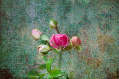 Photograph - A Bud - A Rose by Marie Jamieson