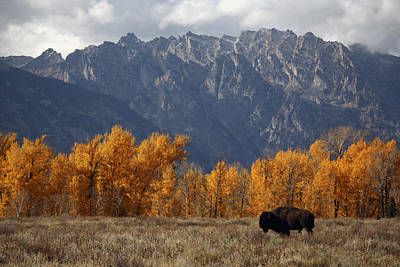 A Buffalo Grazing In Grand Teton Art Print by Aaron Huey