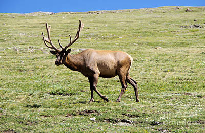 Photograph -  A Bull Elk To The Greener Side Of The Meadow by Jeff Swan