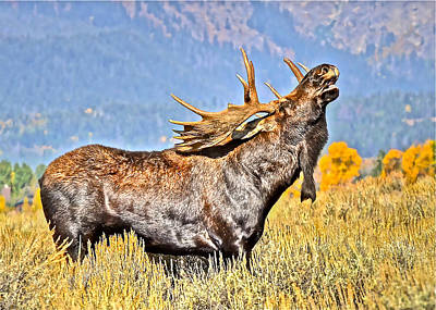 Photograph - A Bull Moose Doing What A Bull Moose Does by Don Mercer