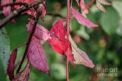 Photograph - A Bunch Of Red Leaves by Michelle Meenawong