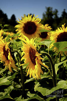 Photograph - A Bunch Of Sunflowers by Michelle Meenawong