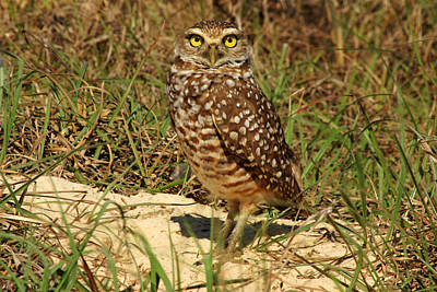 Photograph - A Burrowing Owl by Daniel Woodrum