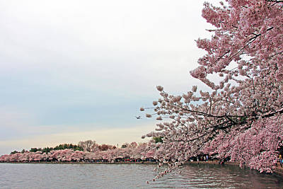 Photograph - A Burst Of Cherry Blossoms by Cora Wandel