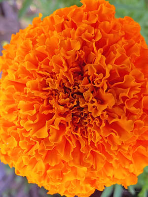 Photograph - A Burst Of Orange by Harold Zimmer