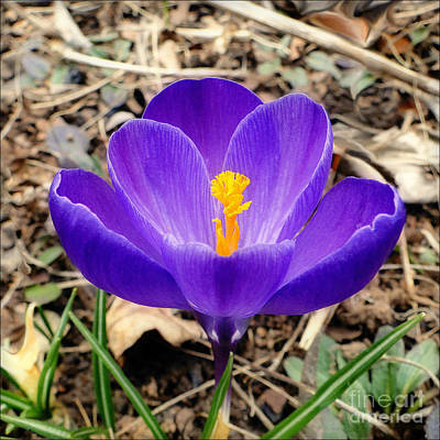 Photograph - A Burst Of Purple In Springtime by Sue Melvin