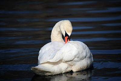 Photograph - A Busy Swan by Karol Livote