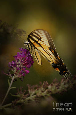 Photograph - A Butterfly , Eastern Tiger Swallowtail by Sandra Clark
