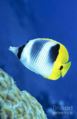 Undersea Photograph - A Butterflyfish Swims Up Along A Coral by Michael Wood