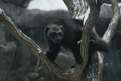 Natural Forces Photograph - A Captive Wolverine In A Snow-dusted by Annie Griffiths