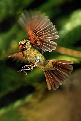 Photograph - A Cardinal Approaches by Kay Brewer