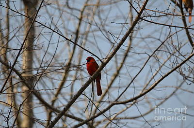 Photograph - A Cardinal Song by Maria Urso