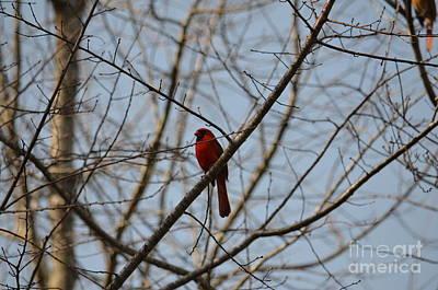 Photograph - A Cardinal Song by Maria Urso
