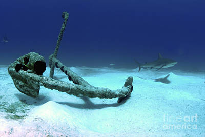 Undersea Photograph - A Caribbean Reef Shark Swims by Amanda Nicholls