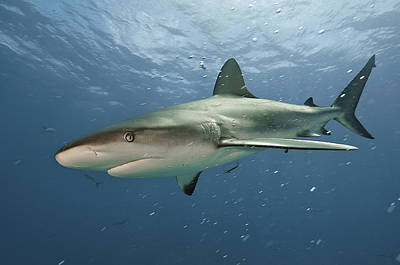 Bahama Islands Photograph - A Caribbean Reef Shark Swimming by Brian J. Skerry