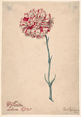 Carnation Drawing - A Carnation. Hollandia Liberata by Zacharias Blijhooft