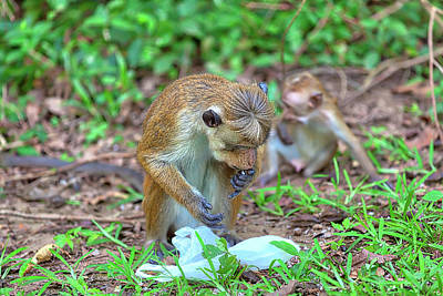Photograph - a Ceylon Macaque is eating rice out of a plastic bag by Regina Koch
