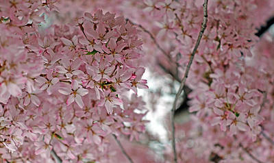 Photograph - A Cherry Blossom Dream by Cora Wandel