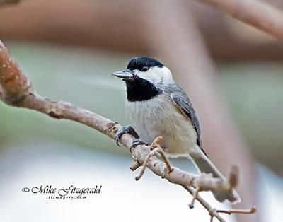 Photograph - A Chickadee Lunch by Mike Fitzgerald