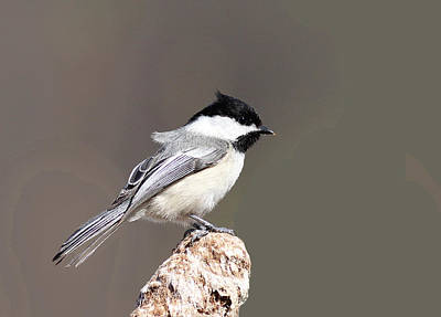 Photograph - A Chickadee On Reed by Andrew W Hu