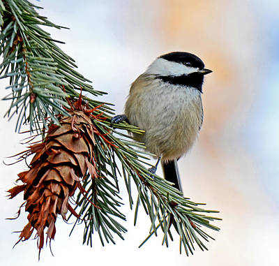 Photograph - A Christmas Chickadee by Rodney Campbell