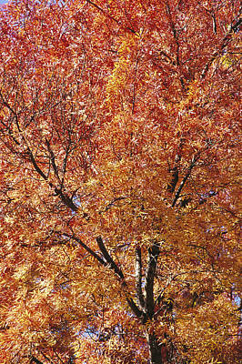 A Claret Ash Tree In Its Autumn Colors Print by Jason Edwards