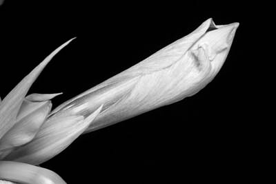 Photograph - A Close-up Of An Amaryllis Flower About To Bloom Bw by James BO Insogna