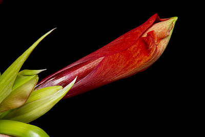 Photograph - A Close Up Of An  Colorful Orange Amaryllis About To Bloom by James BO Insogna