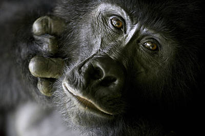 Gorillas Photograph - A Close Up Portrait Of A Mountain by Michael Poliza