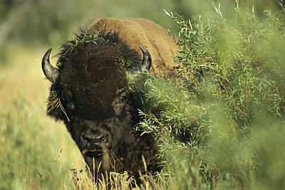 A Close-up View Of An American Bison Art Print