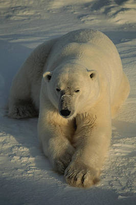 And Threatened Animals Photograph - A Close View Of A Polar Bear Resting by Tom Murphy