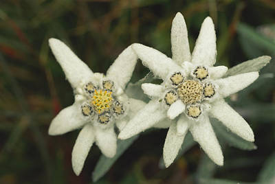 Photograph - A Close View Of An Edelweiss Flower by Norbert Rosing