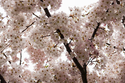Photograph - A Cloud Of Pastel Pink Cherry Blossoms Celebrating The Arrival Of Spring  by Georgia Mizuleva