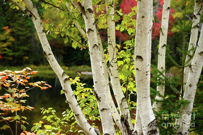 Photograph - A Clump Of Birch Trees by Alana Ranney