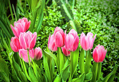 Photograph - A Cluster Of Lovely Pink Tulips by Phyllis Taylor