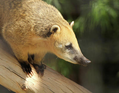 Valentines Day - A Coati by Derrick Neill