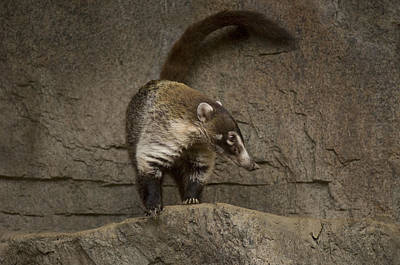 Henry Doorly Zoo Photograph - A Coatimundi At The Henry Doorly Zoo by Joel Sartore