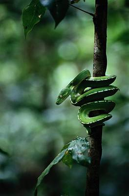 A Coiled Green Tree Python Print by Sam Abell