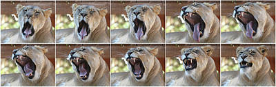 Food And Flowers Still Life - A Collage of an African Female Zoo Lion Yawning by Derrick Neill