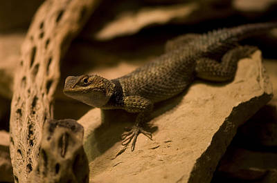 Henry Doorly Zoo Photograph - A Collard Lizard From The Henry Doorly by Joel Sartore