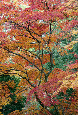 Autumn Colors Photograph - A Colourful Tree by Lise-Lotte Larsson