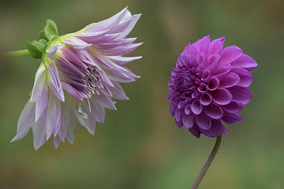 Pinks And Purple Petals Photograph - A Conversation Between Dahlias by Angie Vogel