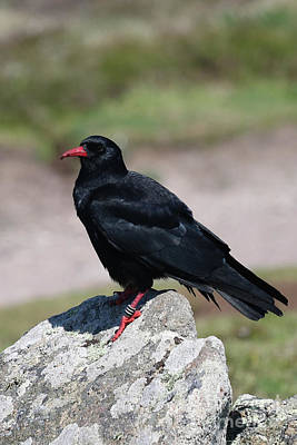 Photograph - A Cornish Chough by Terri Waters