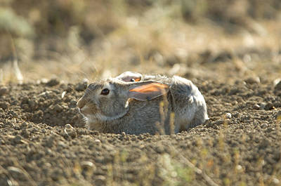 A Cottontail Rabbit At Charles M Print by Joel Sartore