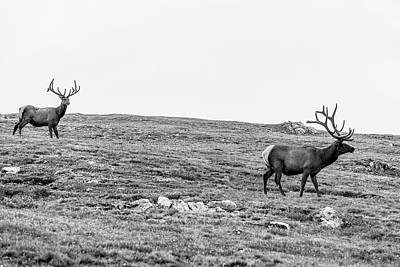 Photograph - A Couple Elk  by John McGraw