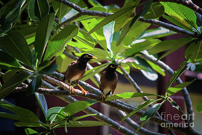 Common Myna Photograph - A Couple Of Common Myna by Michelle Meenawong