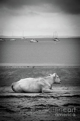 Photograph - A Cow On The Beach by RicardMN Photography