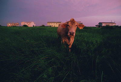 A Cow Walks Near Beachhouses Art Print by Joel Sartore