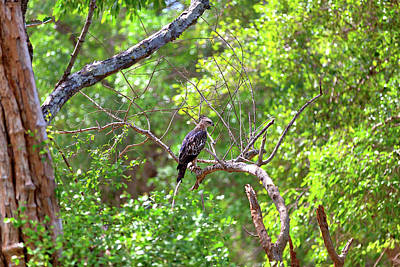 Photograph - a Crested Hawk Eagle is sitting on a twig in the green jungle by Regina Koch
