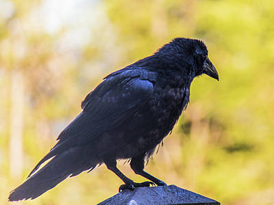Art Print featuring the photograph A Crow Looks Away by Jonny D